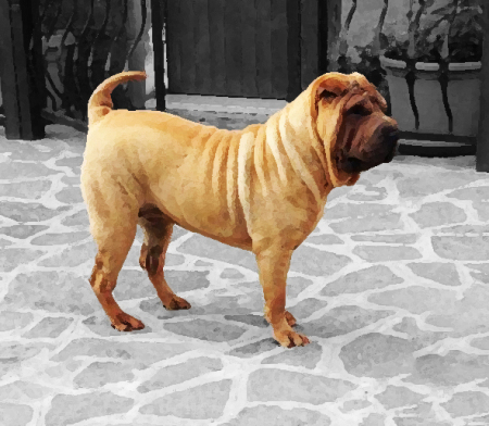 Allevamento SHAR-PEI Of The Crease Of Wisdom
